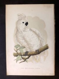 Greene Parrots in Captivity 1887 Hand Col Print. Great White-Crested Cockatoo